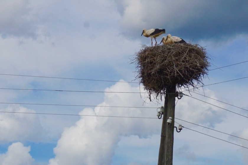 Baby-Storks in Latvia